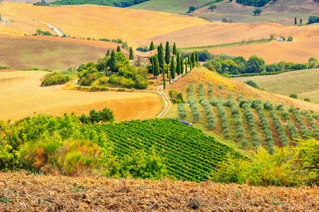 wineyard: Cypress plantation and wineyard in Tuscany,San Quirico dOrcia,Italy,Europe