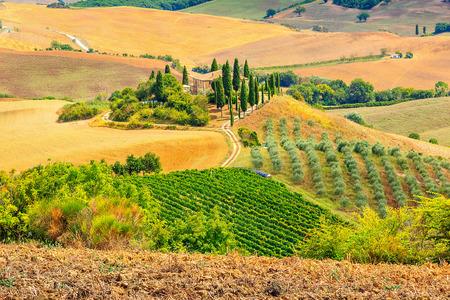 san quirico: Cypress plantation and wineyard in Tuscany,San Quirico dOrcia,Italy,Europe
