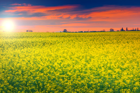 Spring landscape with a field of canola at sunrise,Transylvania,Romania