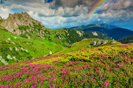 stones with flower: Beautiful pink rhododendron flowers and wonderful rainbow,Ciucas mountains,Carpathians,Transylvania,Romania,Europe