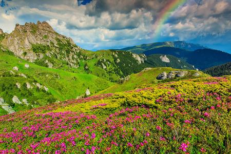campo de flores: Hermosas flores rosadas rododendros y maravilloso arco iris, las monta�as Ciucas, C�rpatos, Transilvania, Rumania, Europa