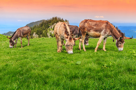 donkeys: Brown donkeys eating grass in the pasture Stock Photo