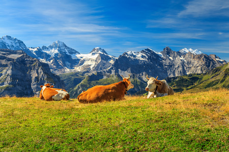 Cows grazing on a meadow and high snowy mountains in background,Mannlichen,Bernese Oberland,Switzerland,Europe