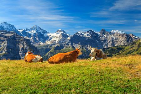Vacas pastando en una pradera y altas montañas nevadas en el fondo, Mannlichen, Berner Oberland, Suiza, Europa