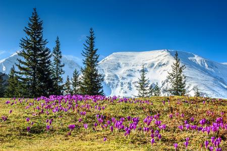 frescas flores púrpuras del azafrán de colores y el impresionante paisaje de primavera en las montañas Fagaras, Cárpatos, Transilvania, Rumania, Europa