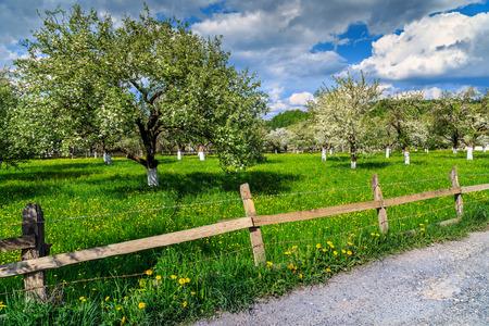 primavera: Huerta floreciente del manzano en primavera en el jardín