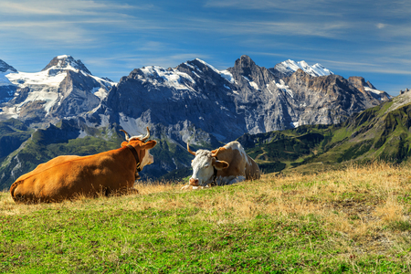 grazing: Cows grazing on a meadow and high snowy mountains in background,Mannlichen,Bernese Oberland,Switzerland,Europe