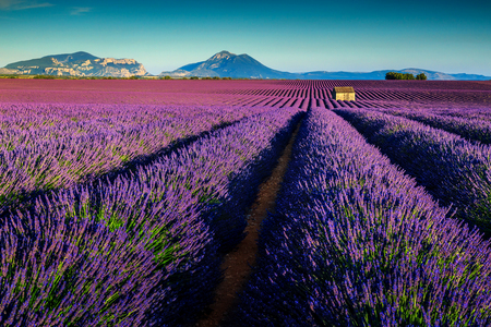 alpine hut: Spectacular violet lavender fields near Valensole village,Provence region,France,Europe