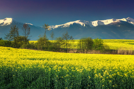 Amazing snowy mountains with spectacular rapeseed field in Transylvania, Fagaras mountains, Carpathians, Romania, Europe Stock Photo
