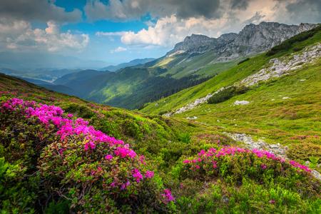 Paisagem de verão deslumbrante, incríveis flores coloridas de montanha de rododendro rosa nas colinas nas montanhas Bucegi, Cárpatos, Transilvânia, Romênia, Europa