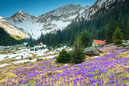 Breathtaking colorful fresh purple crocus flowers and magical spring landscape in the Sambata valley, Fagaras mountains, Carpathians, Transylvania, Romania, Europe
