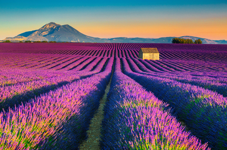 Majestic colorful lavender fields near Valensole touristic village, Provence region, France, Europe