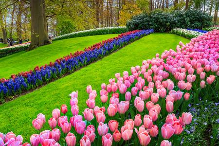 Wonderful spring landscape, famous Keukenhof garden with colorful fresh tulips, hyacinths, spring flowers and spectacular flowered hills, Lisse, Netherlands, Europe