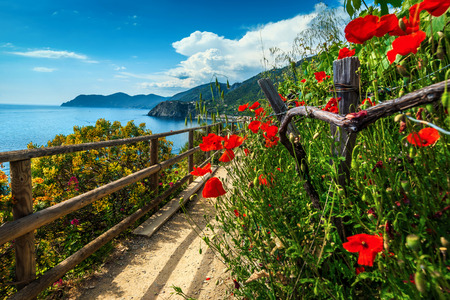 Spectacular hiking trails with flowers and red poppies in Cinque Terre National Park, near Manarola village, Liguria, Italy, Europe