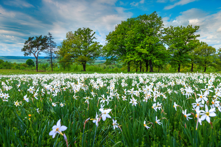 Admirable spring field with white daffodils on a wonderful cloudy day, Transylvanian landscape, Romania, Europe