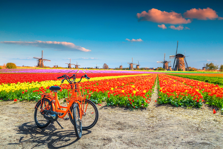 Wonderful travel and touristic destination. Spectacular colorful tulip fields with bicycles and traditional old dutch windmills in background, Kinderdijk, Netherlands, Europe