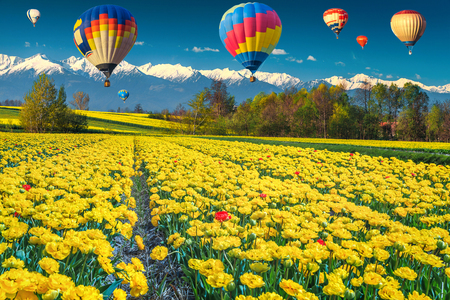 Stunning nature landscape and travel concept. Amazing yellow tulip fields and high snowy mountains in background with colorful hot air balloons, Transylvania, Romania, Europe
