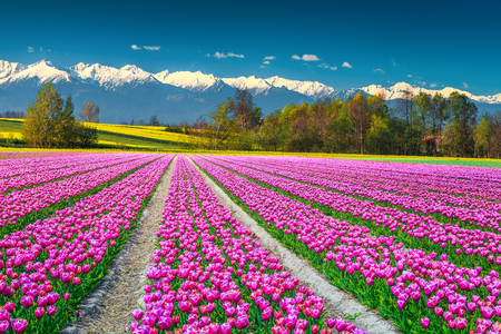 Spectacular nature and landscape concept. Beautiful pink tulip fields and yellow rapeseed fields with high snowy mountains in background, Transylvania, Romania, Europe