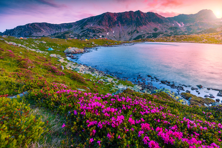 Stunning mountain sunset landscape, fantastic campsite near Bucura lake. Camping place with colorful tents and pink rhododendron flowers at sunset, Retezat mountains, Carpathians, Transylvania, Romani