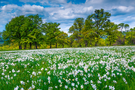 Breathtaking spring flowery landscape, stunning fields of daffodils and spectacular flowery glade in the forest, Transylvania, Romania, Europe Banque d'images - 120945358
