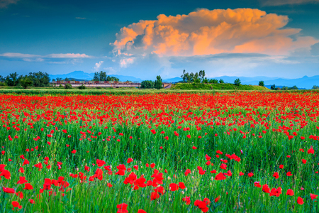 Wonderful field of red poppies blooming in summer day, Transylvania, Romania, Europe