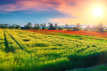 Amazing summer landscape, spectacular grain and red poppies field at sunset near Brasov, Transylvania, Romania, Europe
