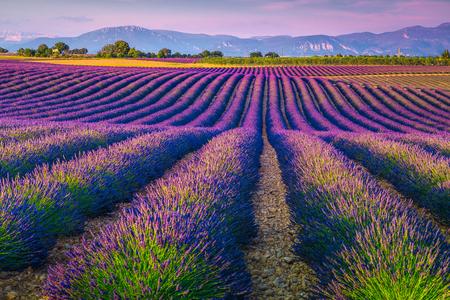Spettacolari filari di lavanda al tramonto. Pittoreschi campi di lavanda viola e aree agricole nella regione della Provenza, Francia, Europa