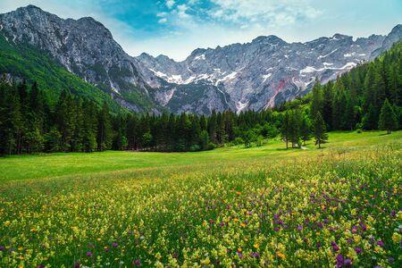 Bunte Frühlingsblumenfelder mit Kiefernwald und hohen schneebedeckten Bergen im Hintergrund, Jezersko-Tal, Kamnik Savinja Alpen, Slowenien, Europa