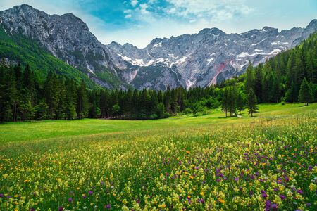 Colorful spring flowery fields with pine forest and high snowy mountains in background, Jezersko valley, Kamnik Savinja Alps, Slovenia, Europe