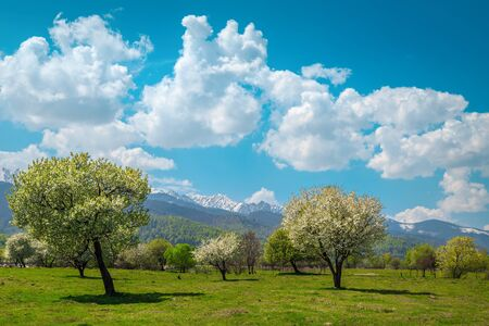 Beautiful spring landscape with green pasture, blossoming orchard and high snowy mountains in background, Fagaras mountains, Carpathians, Transylvania, Romania, Europe