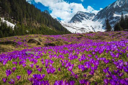 Beautiful spring landscape, majestic slopes with fresh colorful purple crocus flowers and high snowy mountains in background, Fagaras mountains, Carpathians, Transylvania, Romania, Europe Reklamní fotografie