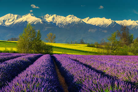 Beautiful summer landscape with majestic lavender fields and spectacular snowy mountains in Transylvania, Fagaras mountains, Carpathians, Romania, Europe