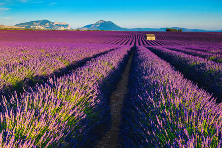 Majestic scenery with lavender flowers on the fields. Lavender flowers with flowery meadows, Valensole, Provence, France, Europe