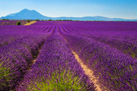 Beautiful purple lavender plantations and spectacular lavender rows near Valensole, Provence, France, Europe