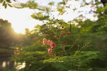 rosids: poinciana, tree, royal, flamboyant, flame, sky, flower, blue, delonix, gulmohar, peacock, nature, red, beautiful, colorful, bright, leaves, flora, background, bloom, ornamental, trees, jardines, beauty, green, summer, natural, plant, orange, tropical, bra Stock Photo