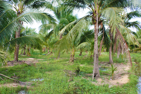 caribbean climate: Sweet coconut palm tree farm