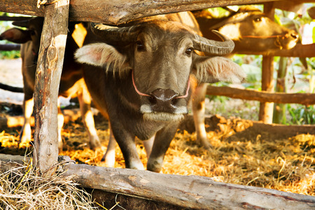 cow teeth: buffalo in the corral with sunset Stock Photo