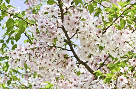 Cherry Blossom Tree Stock Photo - 13535410