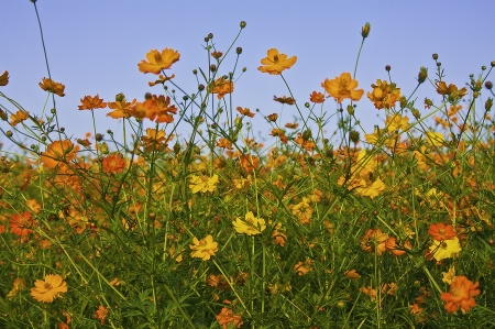 Field of colorful yellow and orange flowers.