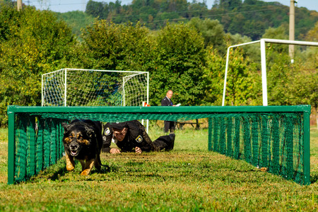 handlers: Mukachevo, Ukraine - September 27. 2016: Canine with his dog overcomes obstacles band during the first championship of the National Police of Ukraine with all-around dog handlers.