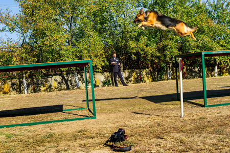 handlers: Mukachevo, Ukraine - September 27. 2016: Service dog without the owner overcomes the obstacle course during the first championship of the National Police of Ukraine with all-around dog handlers.