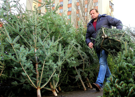 bought: Uzhgorod, Ukraine - December 23, 2014: A man carries bought a Christmas tree in one of the citys markets.