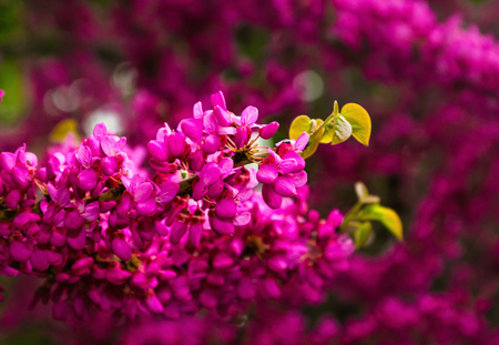 Beautiful pink purple Judas tree blossom branches with soft bokeh.