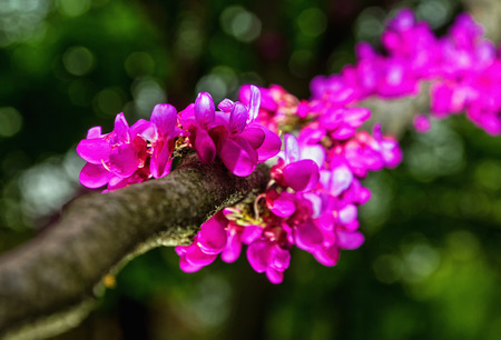 Beautiful pink branches of a tree of Judas on a green background with a soft bokeh.