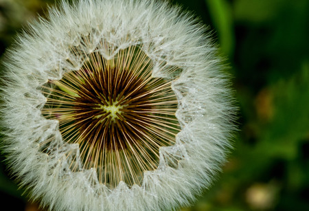 A dandelion basket with seeds among the grass.