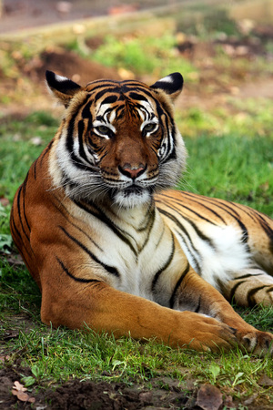 Siberian tiger resting on the grass in Sosto Zoo, Nyiregyhaza, Hungary.