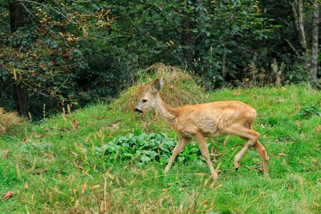 A young female of  European roe deer (Capreolus capreolus) grazes in a meadow near a forest in the Carpathian mountains, Ukraine. Stockfoto