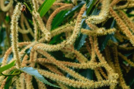 Sweet Chestnut tree in blossom (Castanea sativa). Classic soft image. Close-up. Banque d'images