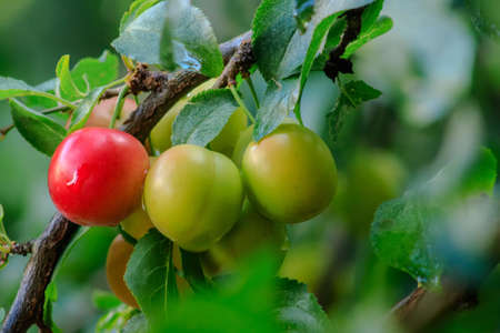 Ripening cherry plum on a tree branch among green leaves in the morning light. Close-up. Selective focus. Banque d'images