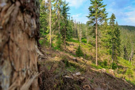 Deforestation of coniferous forests on the slopes of the Carpathian Mountains, western Ukraine.